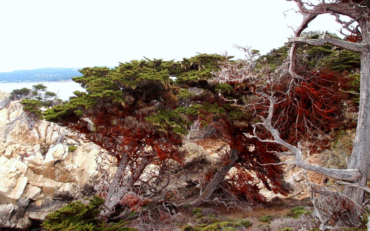 Red trees in Point Lobos