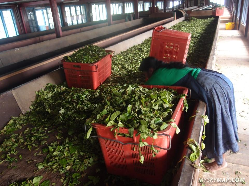 Inside a tea factory