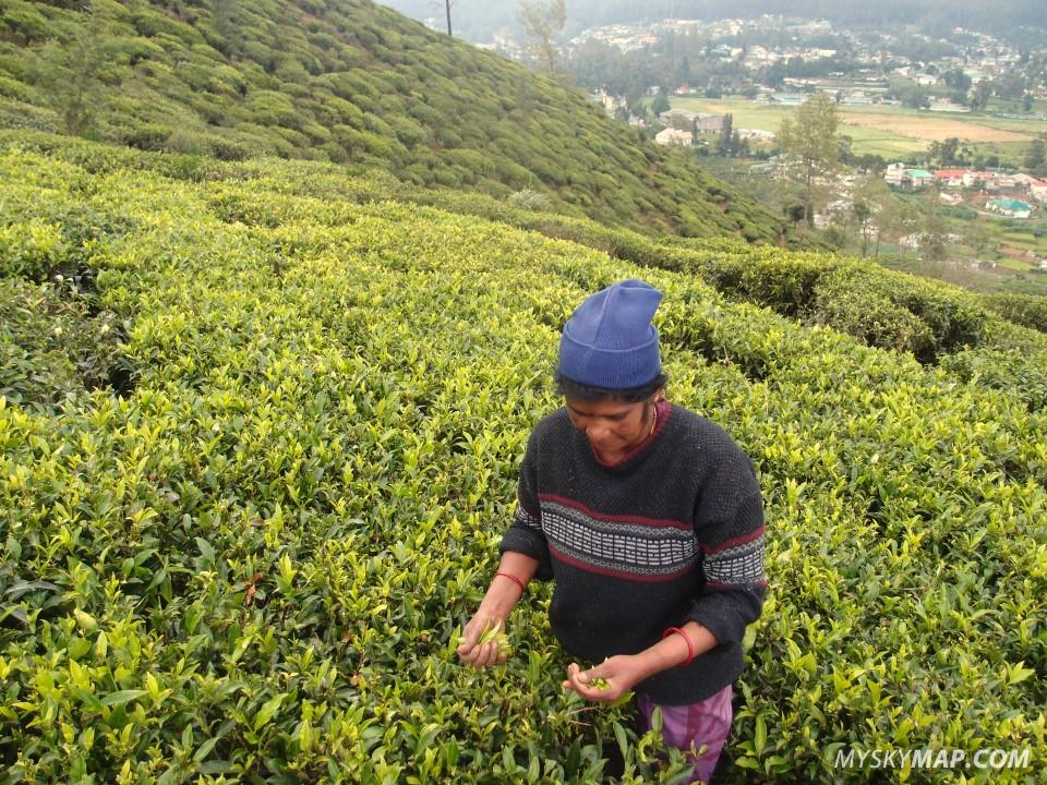 Harvesting tea leafs at  one of the tea plantations