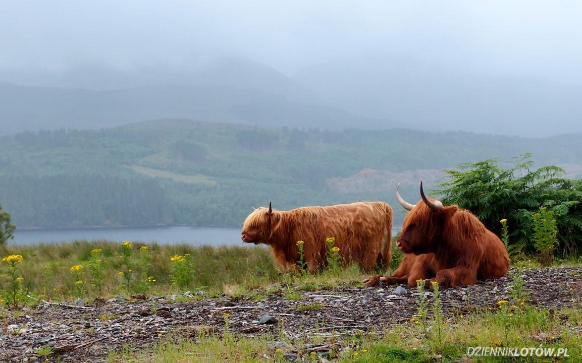 Hairy scottish cows